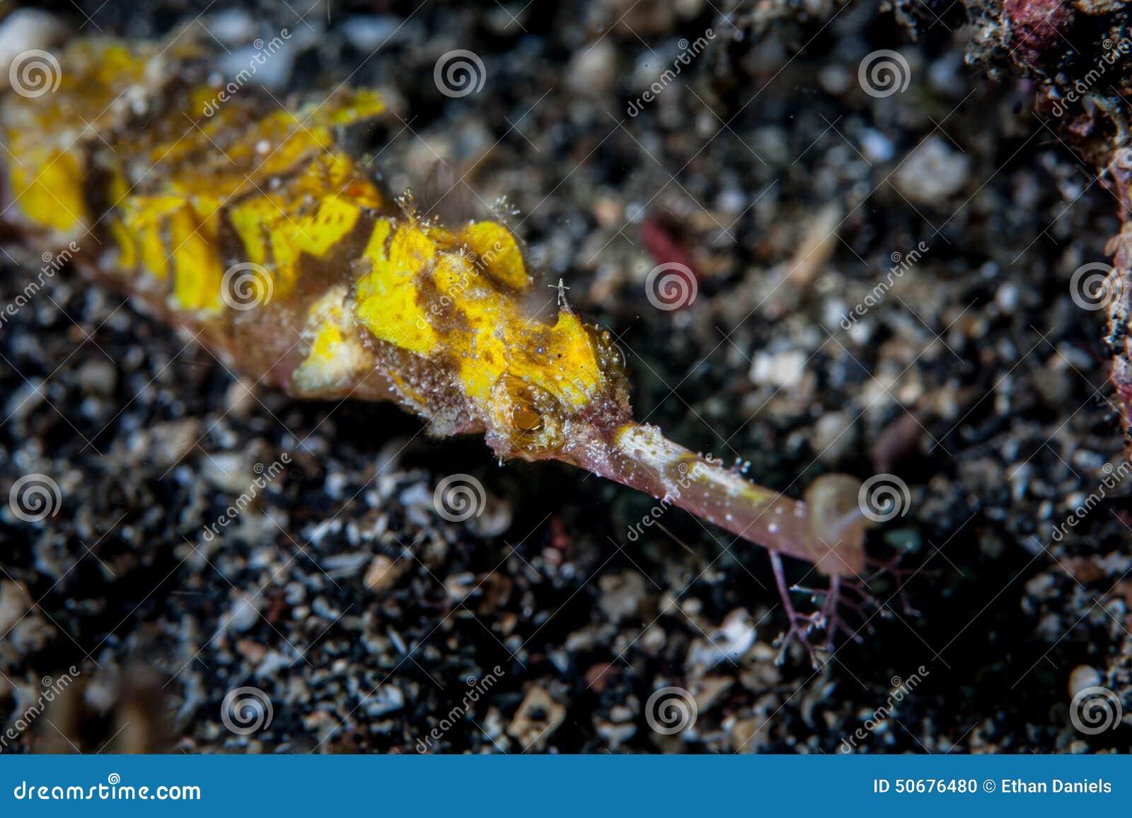 Download 飞过的杨枝鱼 库存照片. 图片 包括有 伪装, 操作的, 本质, 酸度, 海洋, 演变, 生态, ,并且 - 50676480