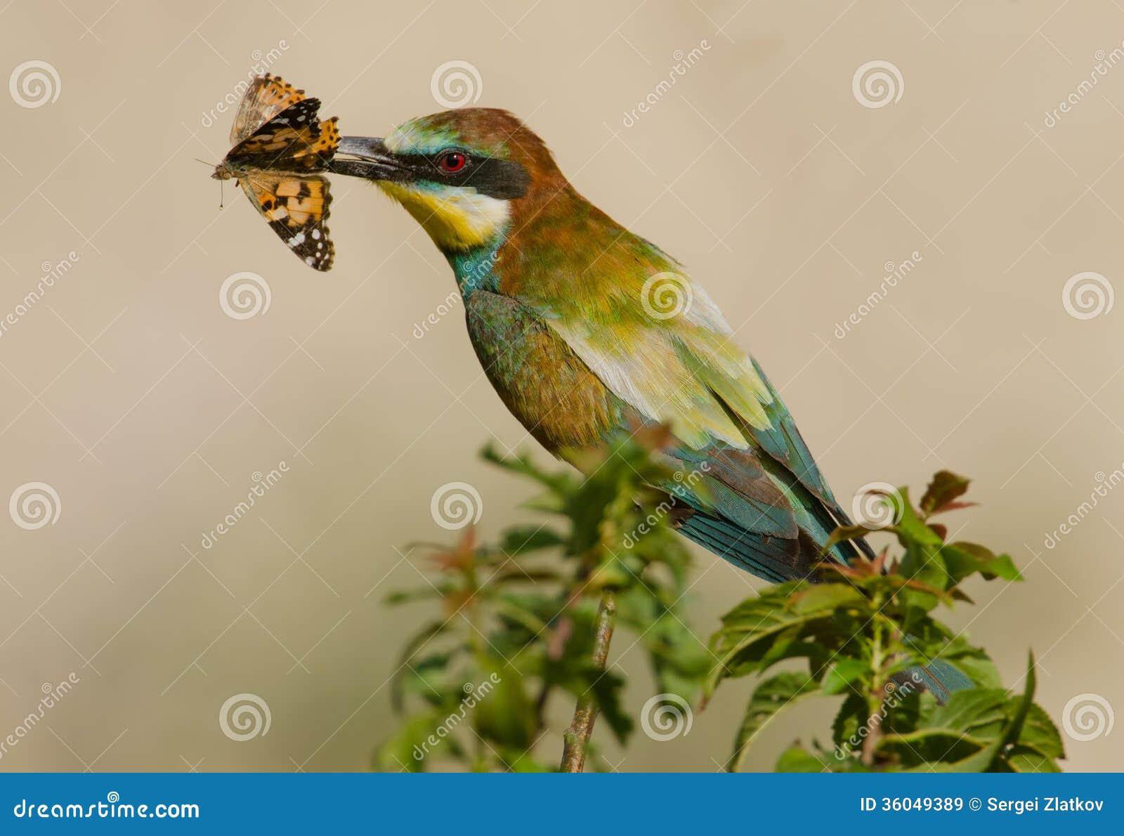 食蜂鸟属apiaster
