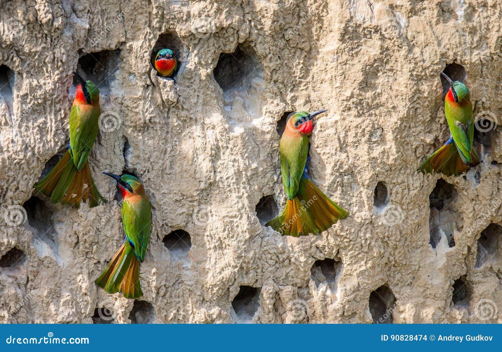 食蜂鸟的大殖民地在他们的在黏土墙壁上的洞穴 闹事 乌干达