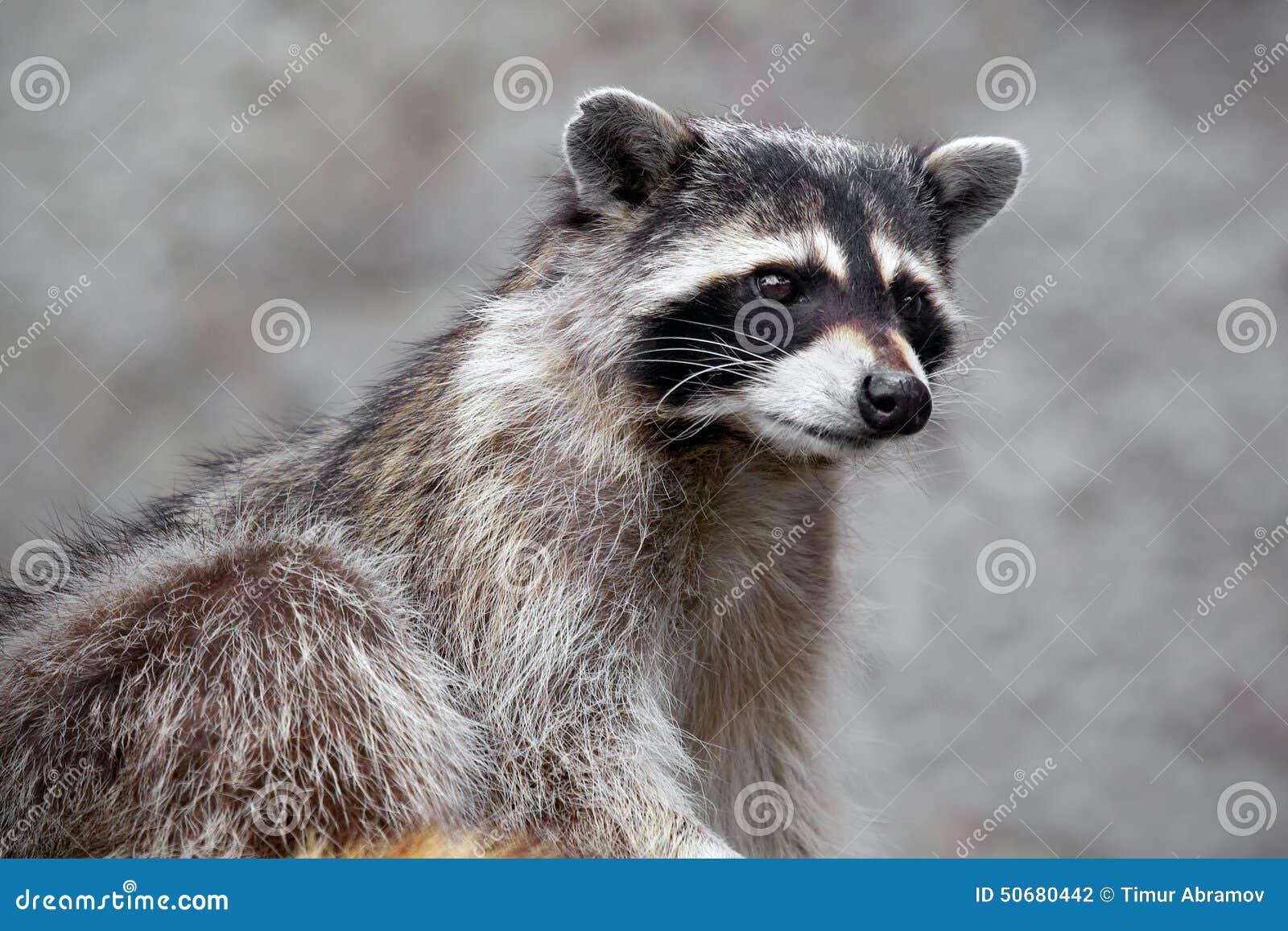 Download 饥饿的浣熊 库存照片. 图片 包括有 浣熊, 查找, 逗人喜爱, 求知欲, 眼睛, 表面, 灰色, 残暴 - 50680442