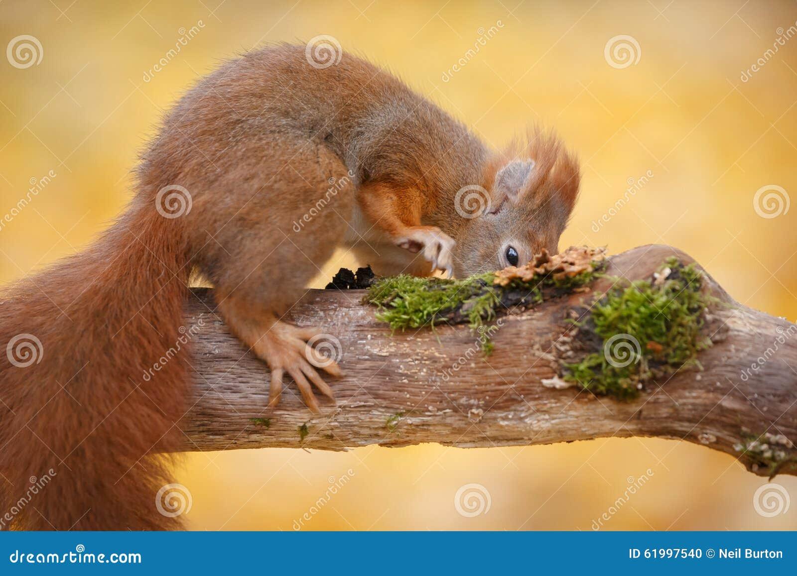 饥饿的灰鼠