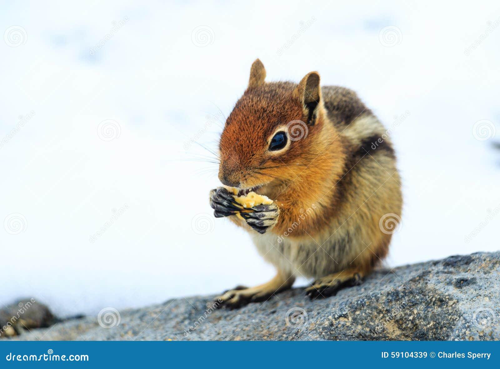饥饿的花栗鼠