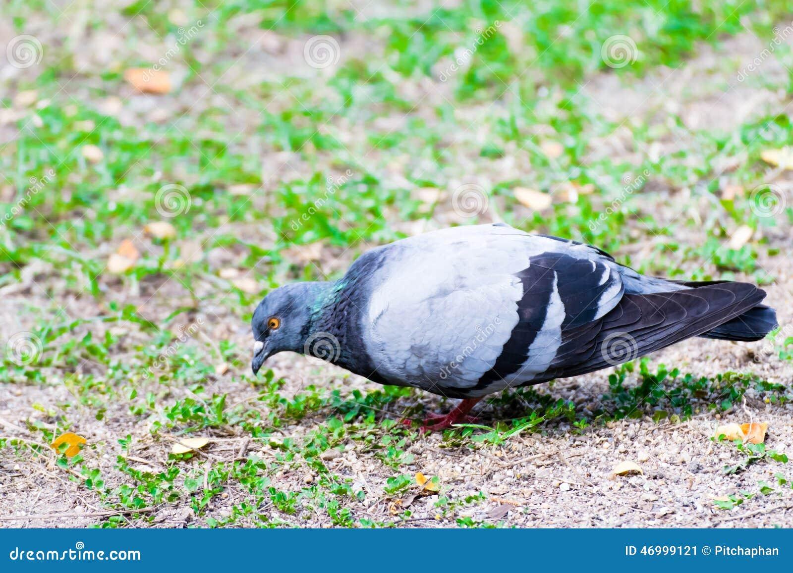 鸟类青蛙鸽鸽子鸟壁纸雀1300_957为什么动物叫老是图片