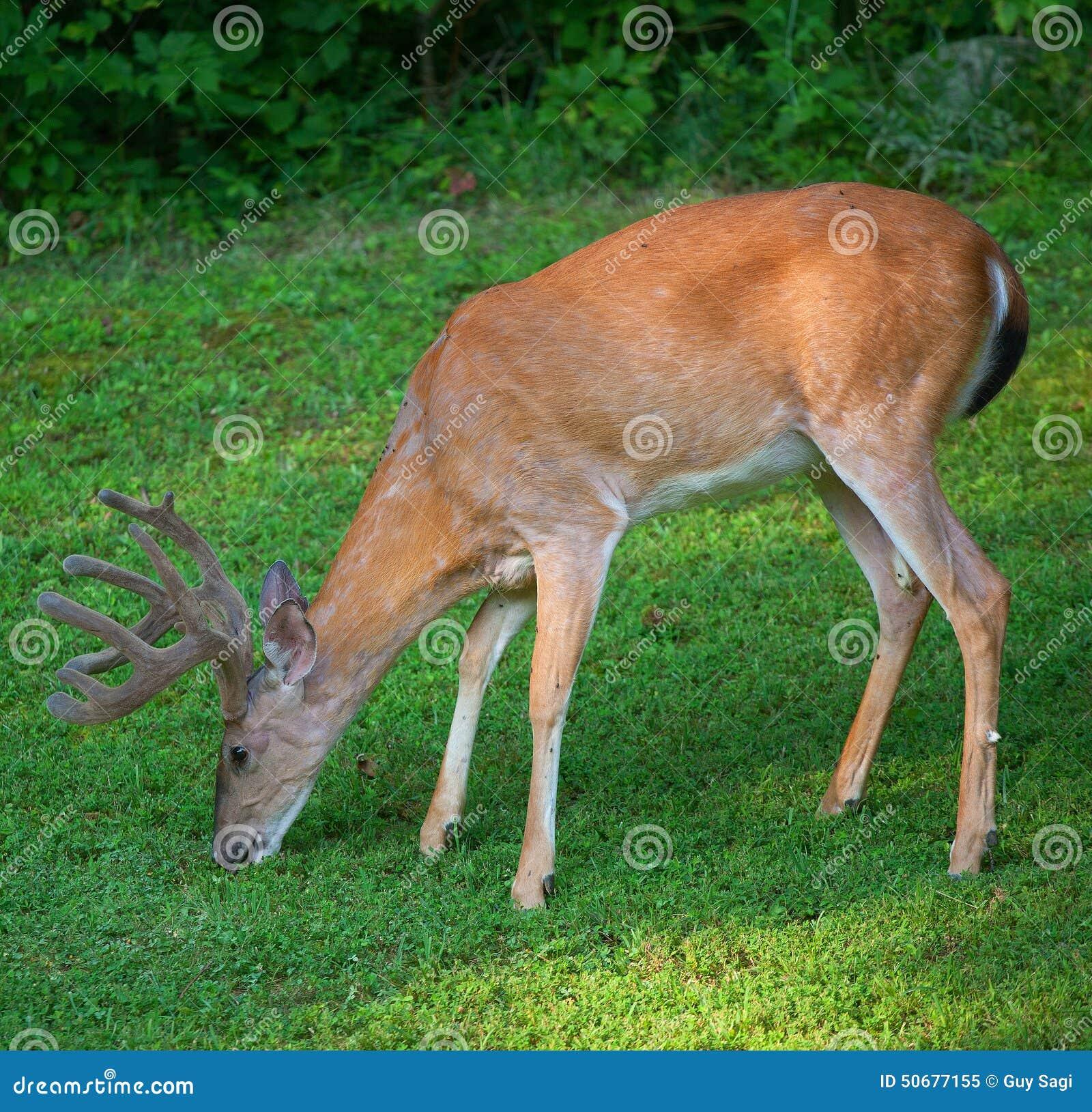 Download 饥饿的鹿 库存图片. 图片 包括有 天鹅绒, 野生生物, 头发, 眼睛, browne, 毛皮, 题头, 敌意 - 50677155