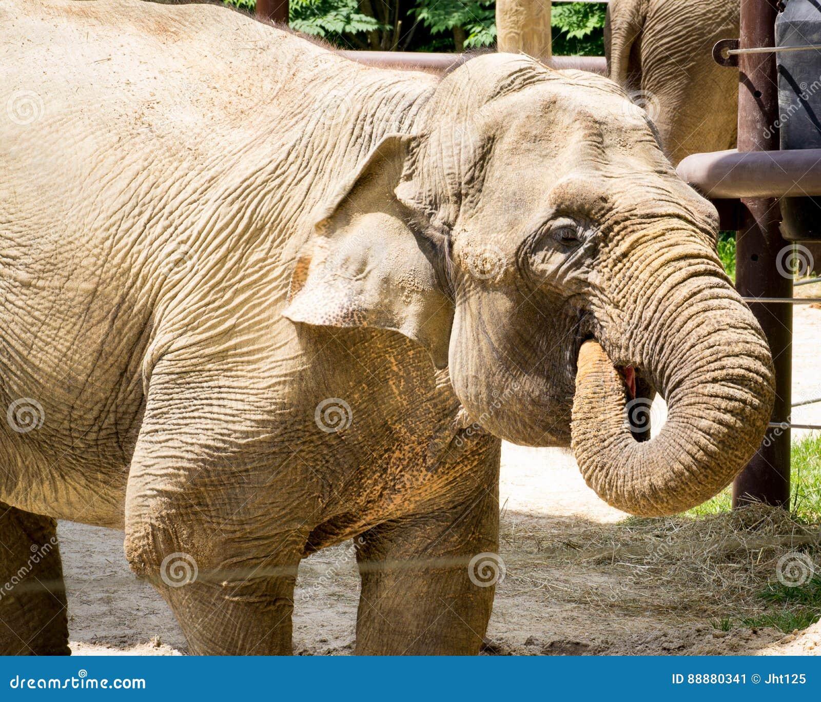 饮用的大象水