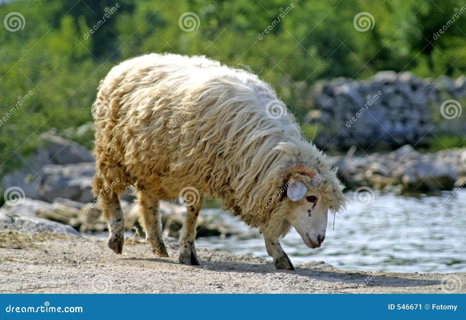 Download 饮用的湖绵羊水 库存图片. 图片 包括有 乡下, 有机, 饮料, 食物, 国家(地区), 羊羔, 痛苦, 家畜 - 546671
