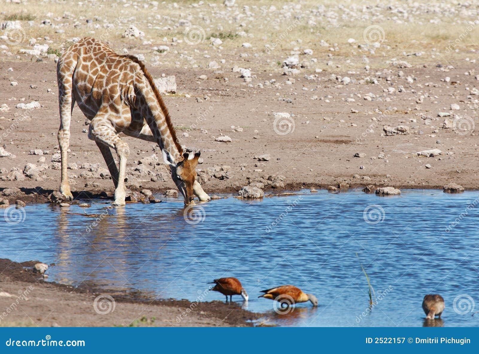 饮用的长颈鹿
