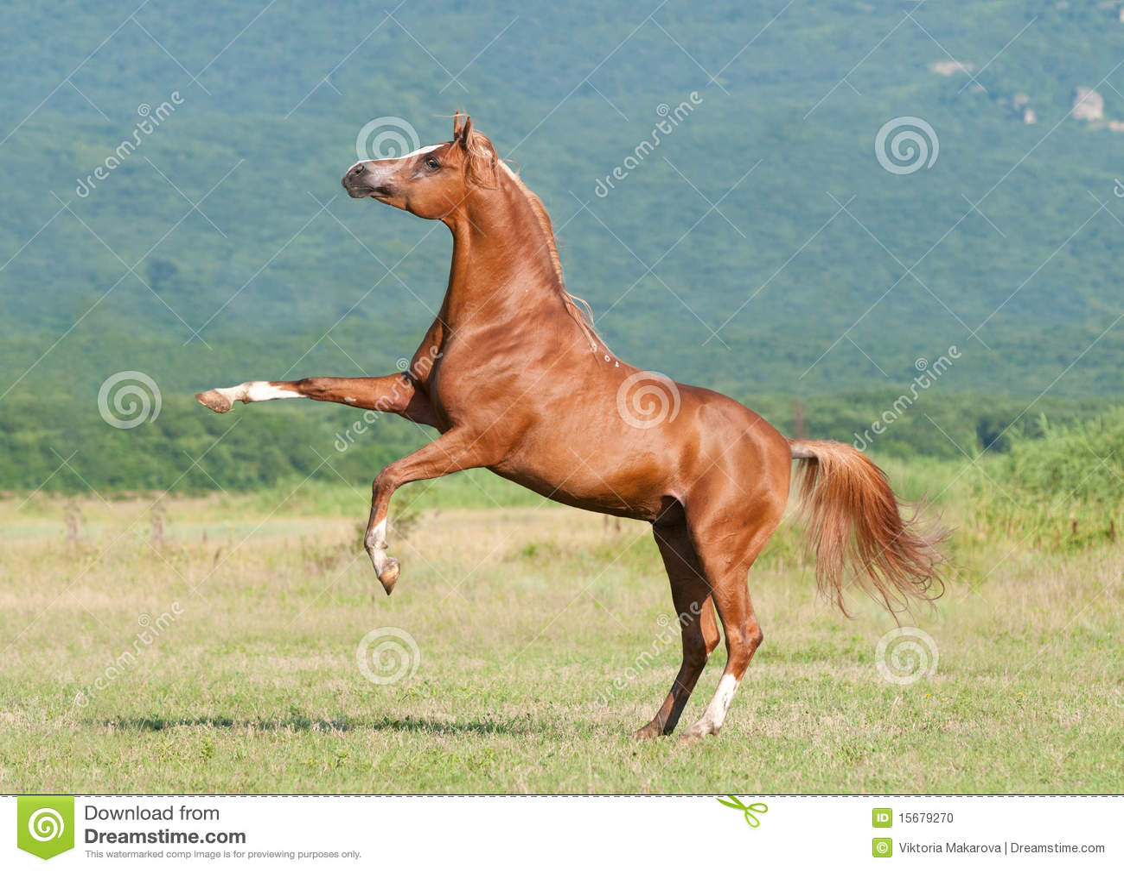 饲养公马的阿拉伯栗子