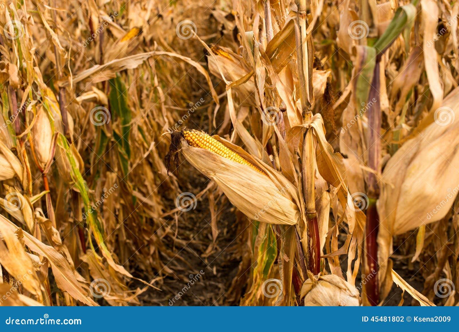 饲料在领域的玉米干燥