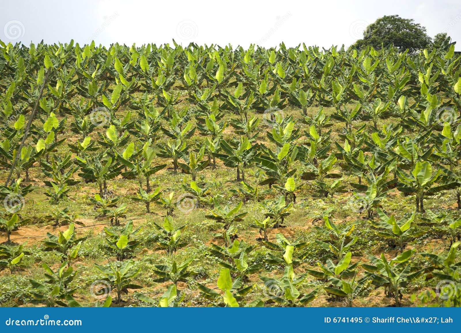 香蕉种植园