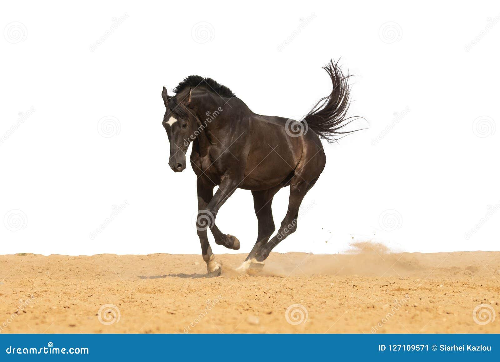 马在白色背景的沙子跳