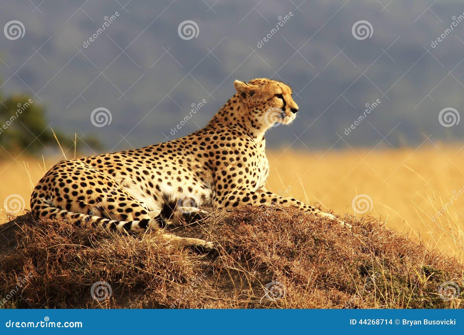 马塞人玛拉猎豹