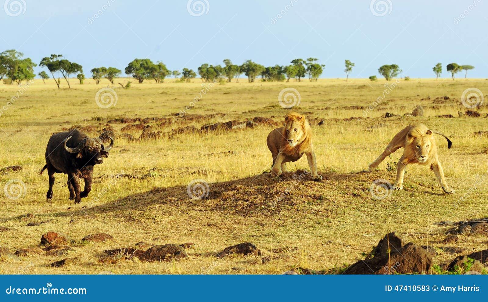 马塞语玛拉Cape Buffalo和狮子