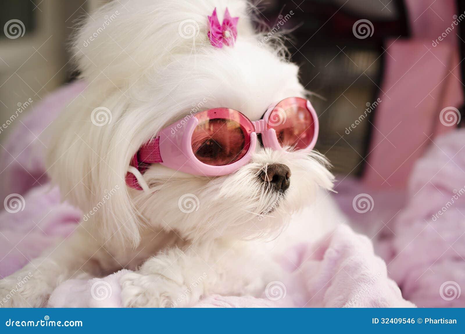 马尔他逗人喜爱的时尚歌剧女主角的小狗