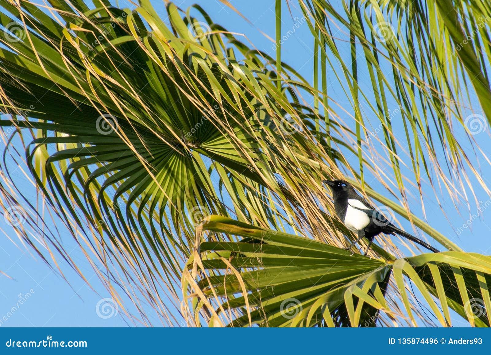 马格里布鹊在一棵热带棕榈树的12点活字mauritanica,阿加迪尔,摩洛哥