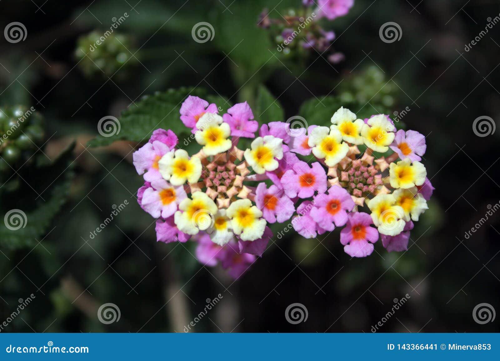 马樱丹属camara -与黄斑的两朵明亮的浅粉红色的花在深绿背景的中心