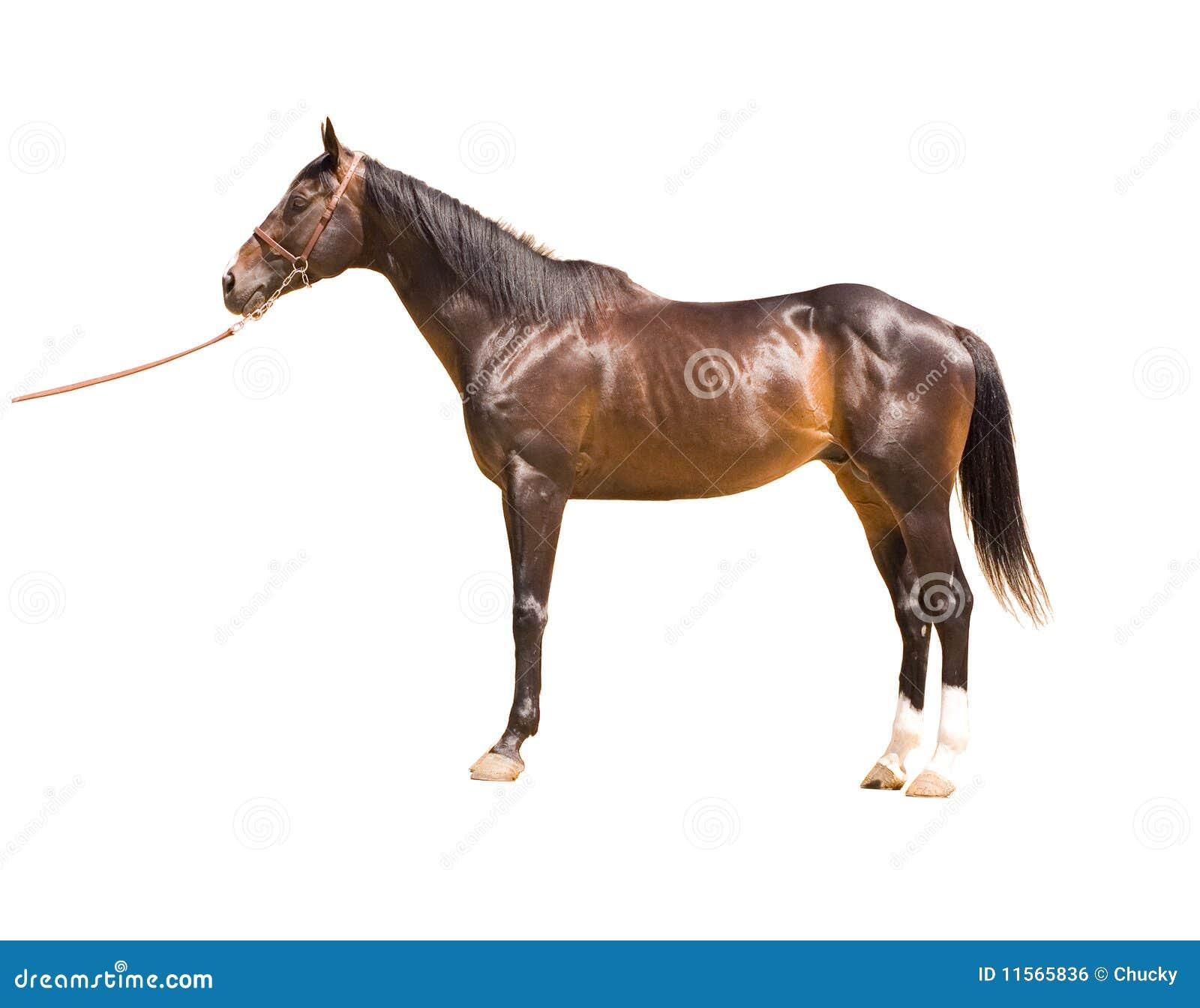 马纯血种马