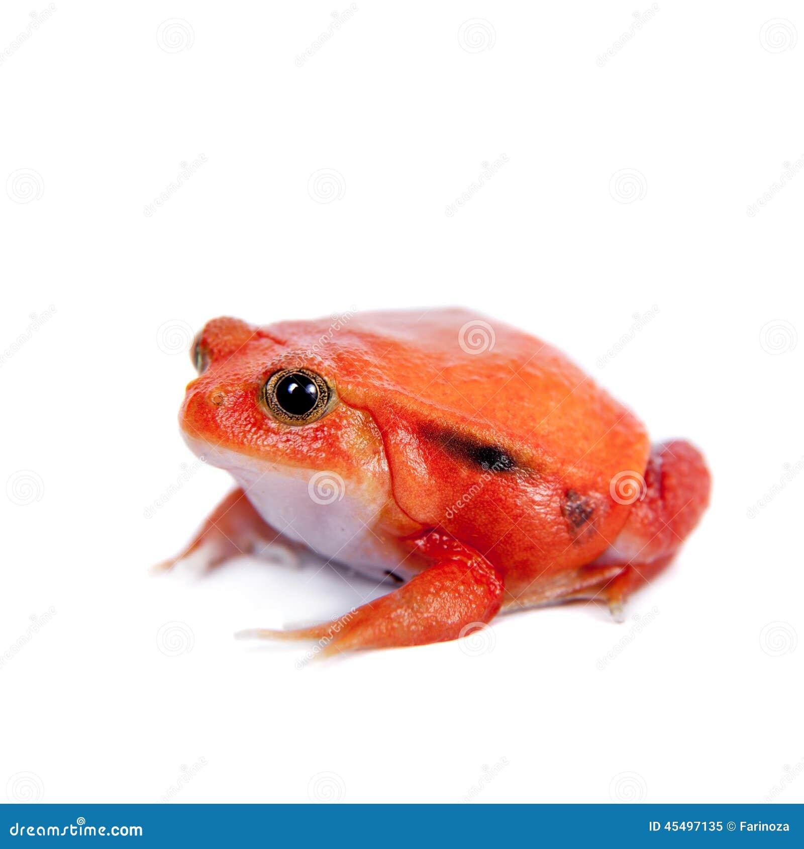 马达加斯加在白色隔绝的蕃茄青蛙