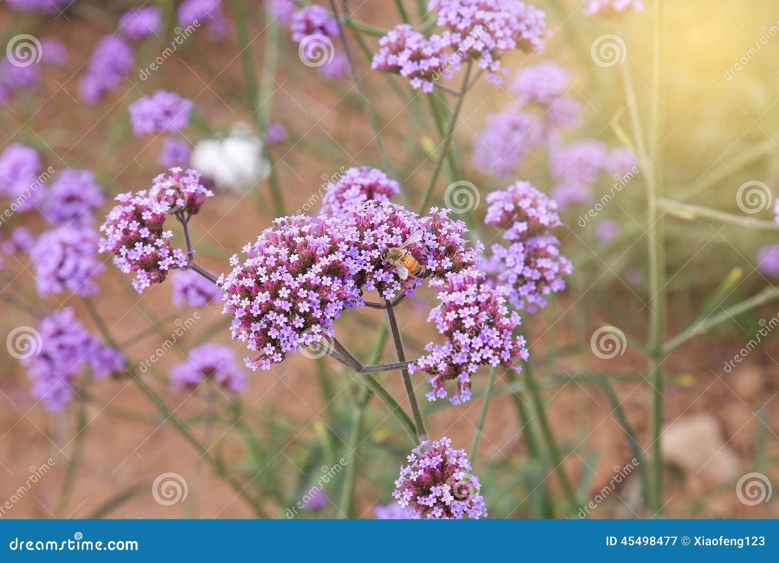 马鞭草属植物领域