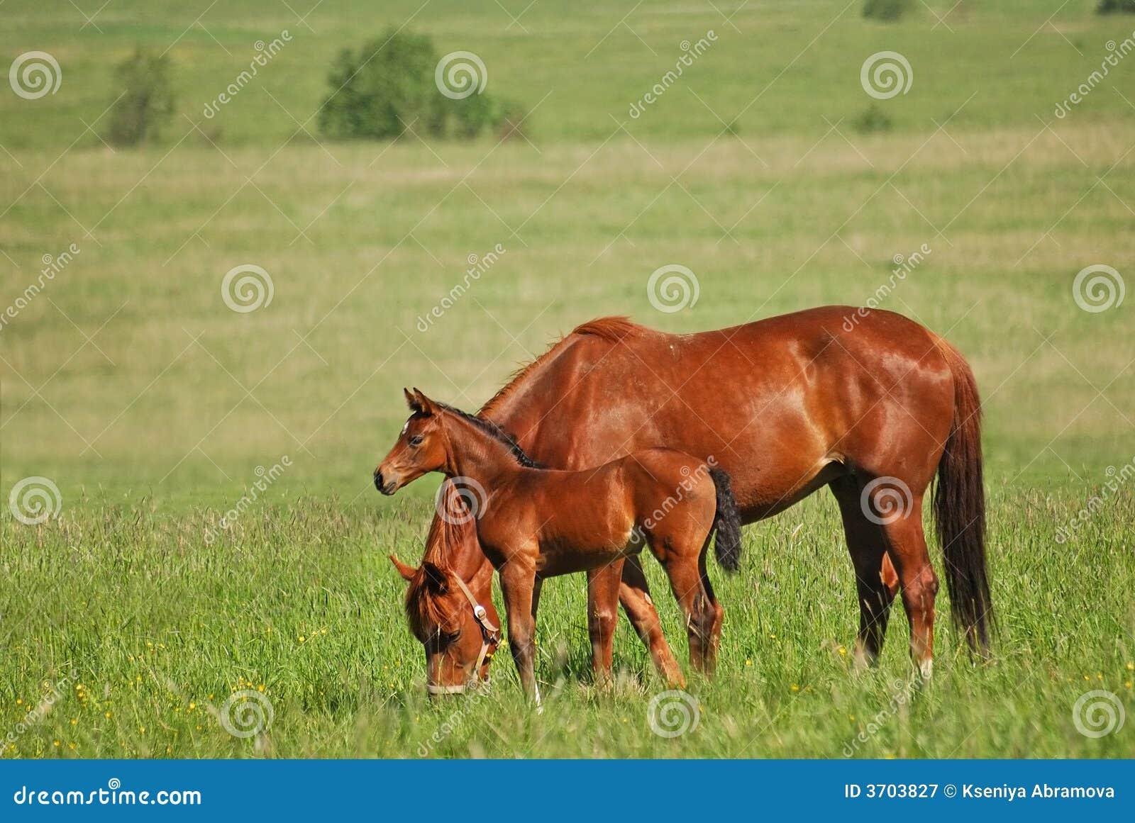 马驹母马红色