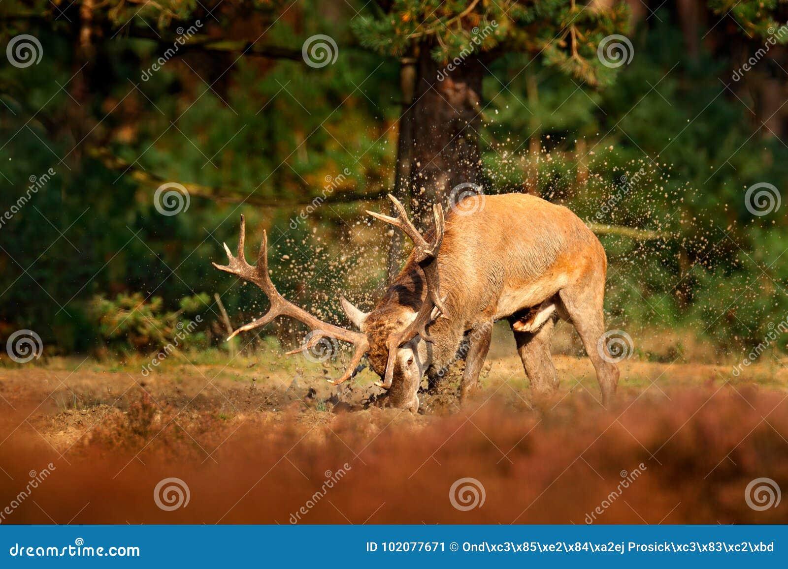 马鹿, rutting季节,泥黏土热水锅 鹿雄鹿,在森林里吼叫在木头,大动物之外的庄严强有力的成人动物