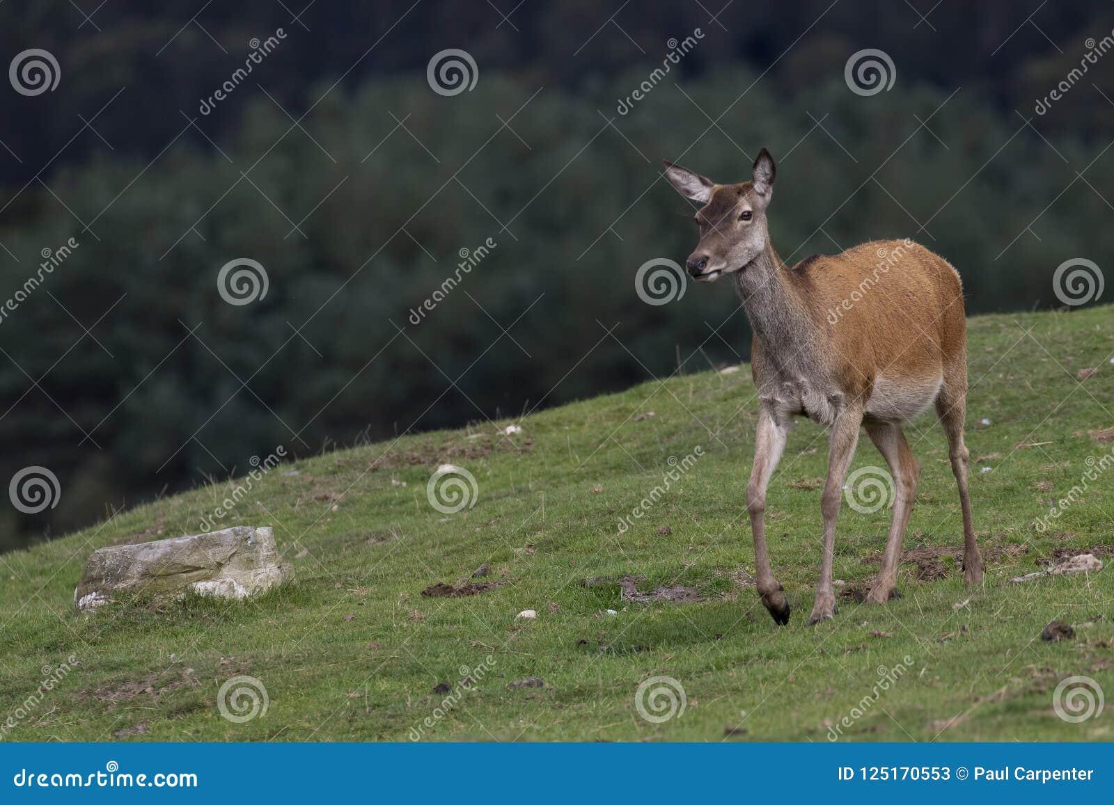 马鹿hinds,鹿elaphus scoticus,吃草在与杉木森林的草在背景中在9月期间在cairngorms国家