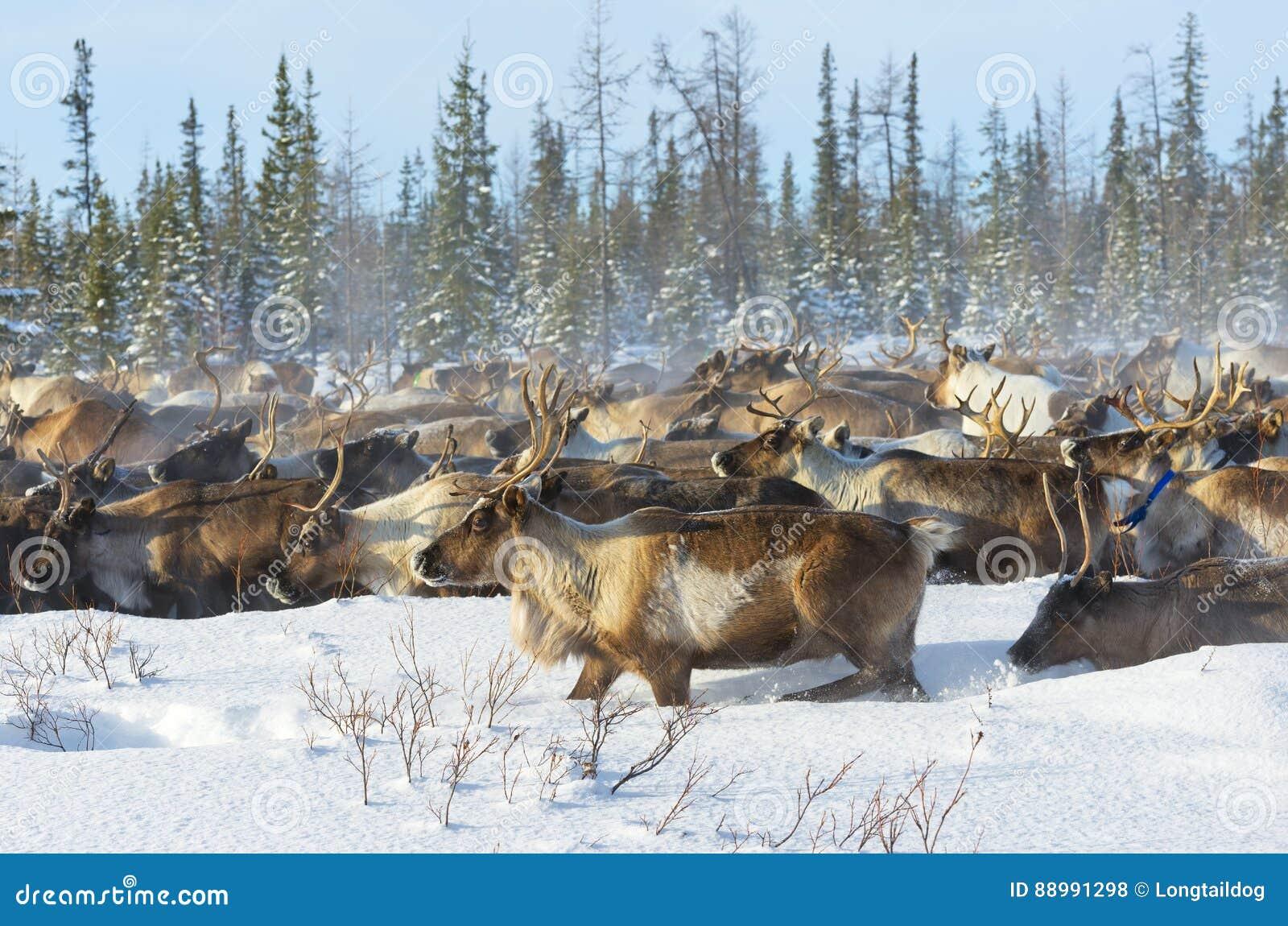 驯鹿在寒带草原移居
