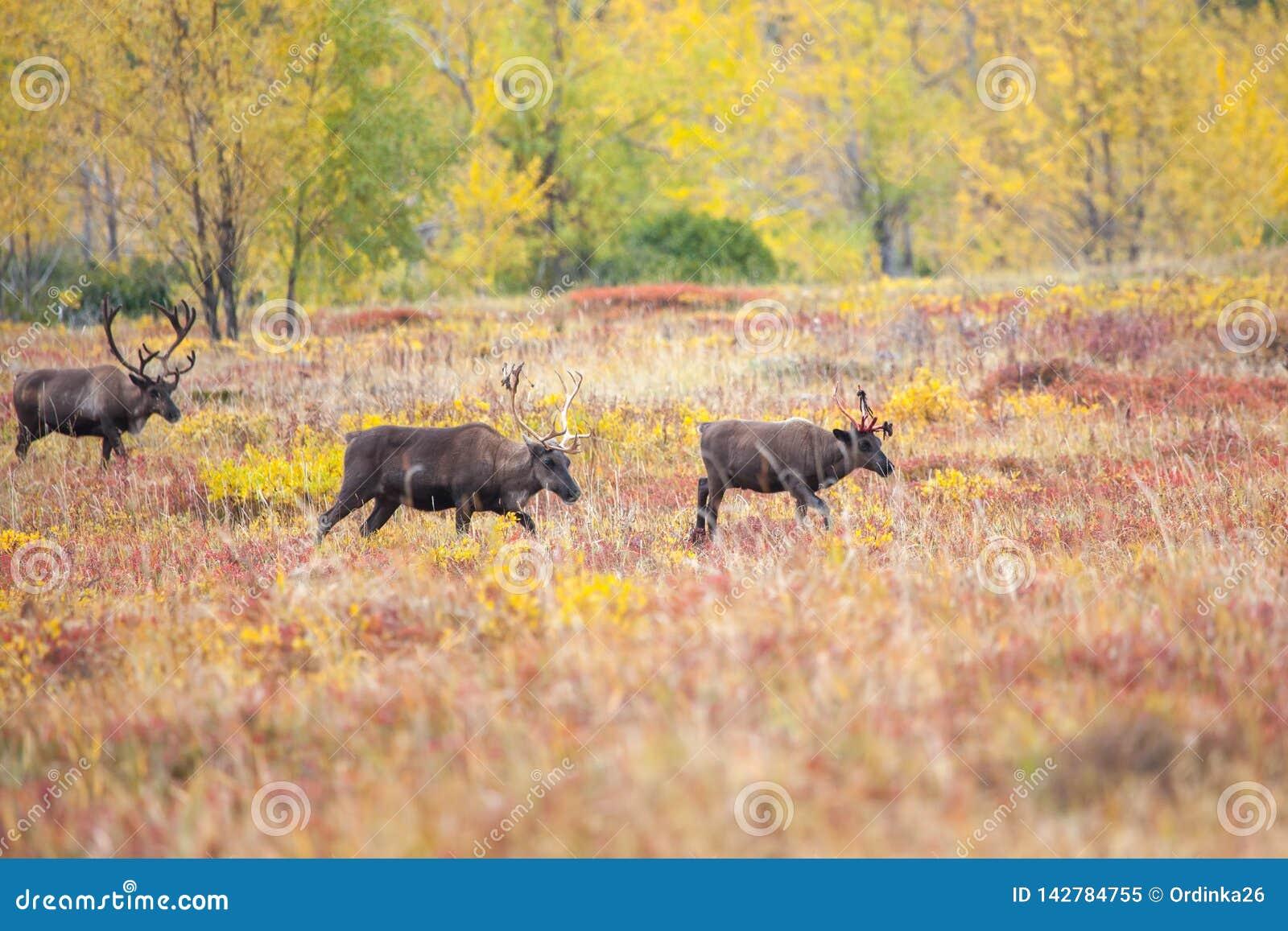 驯鹿牧群在寒带草原在秋天