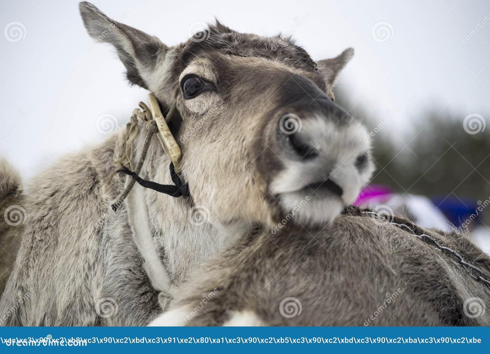 Download 驯鹿 库存图片. 图片 包括有 敌意, 驯鹿, 眼睛, 头发, 查找, 注意, 谨慎, 本质, 耳朵, 配置文件 - 50682107