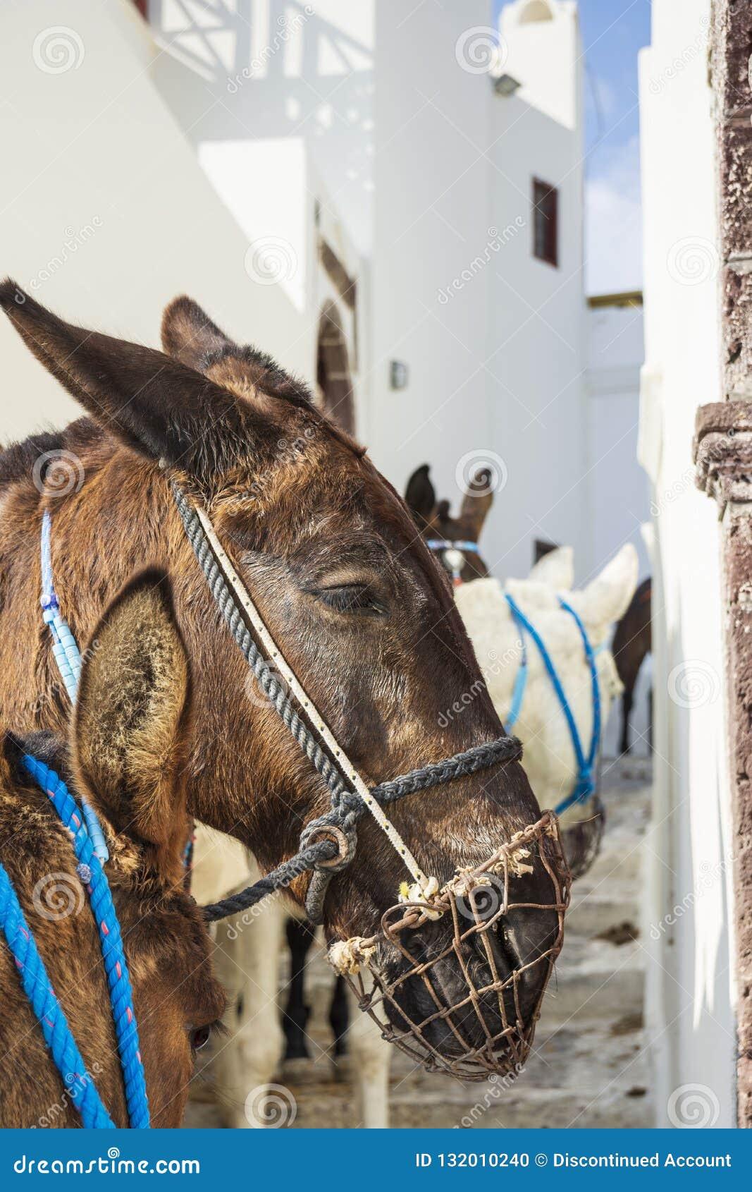 驴,圣托里尼海岛