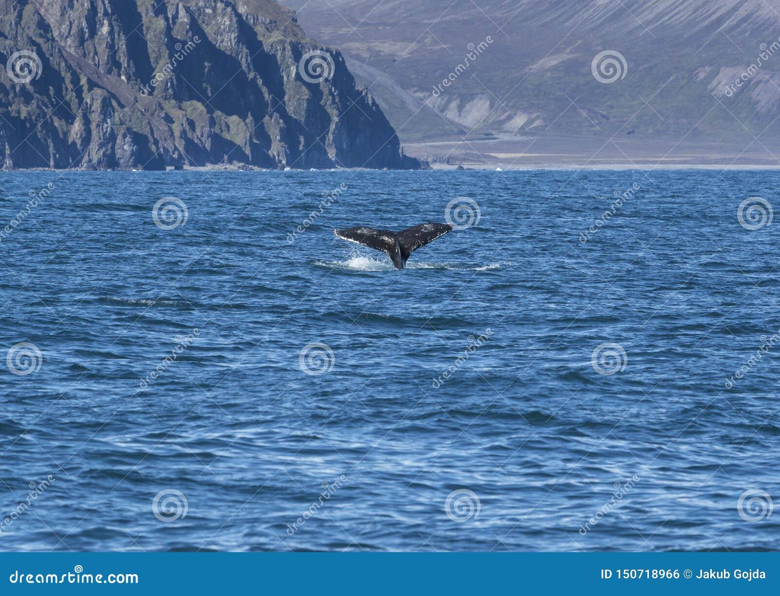 驼背飞翅尾巴,冰岛细节
