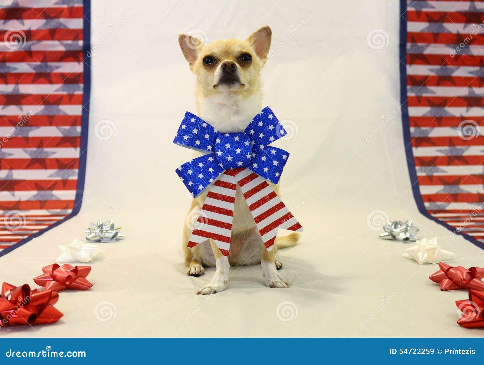 骄傲的奇瓦瓦狗