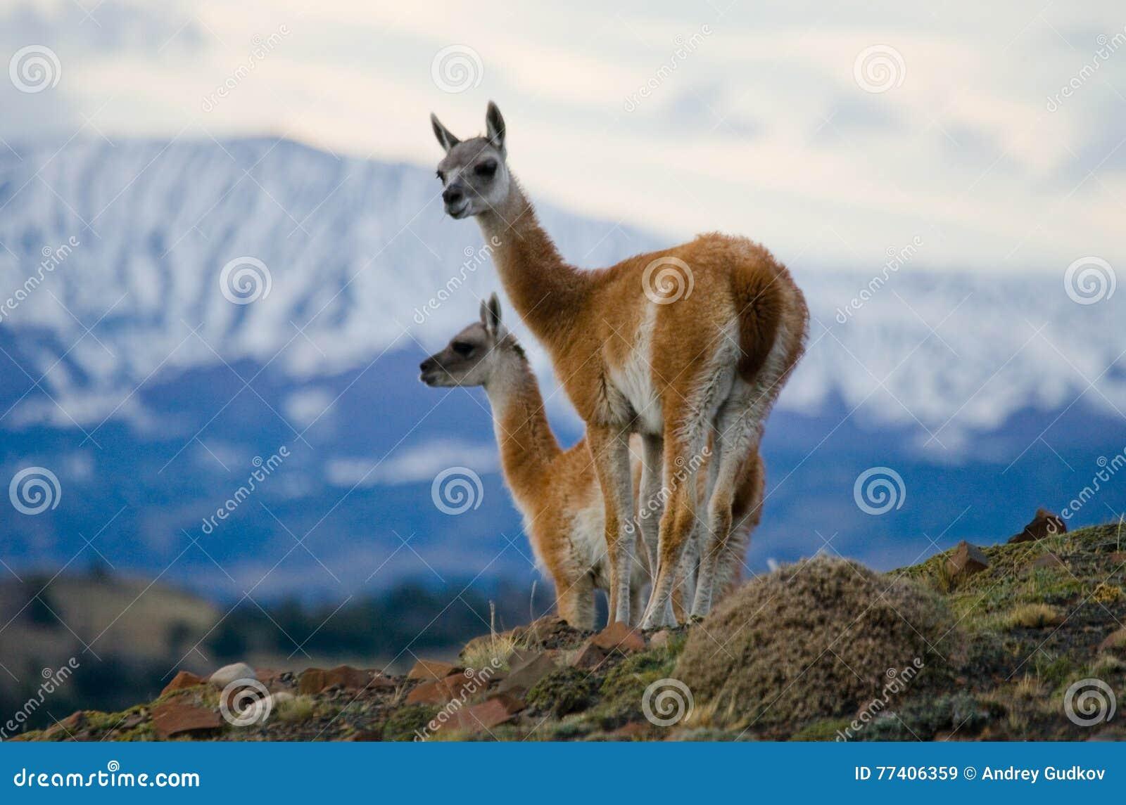 骆马之类在多雪的山峰山背景的冠站立  del paine torres 智利