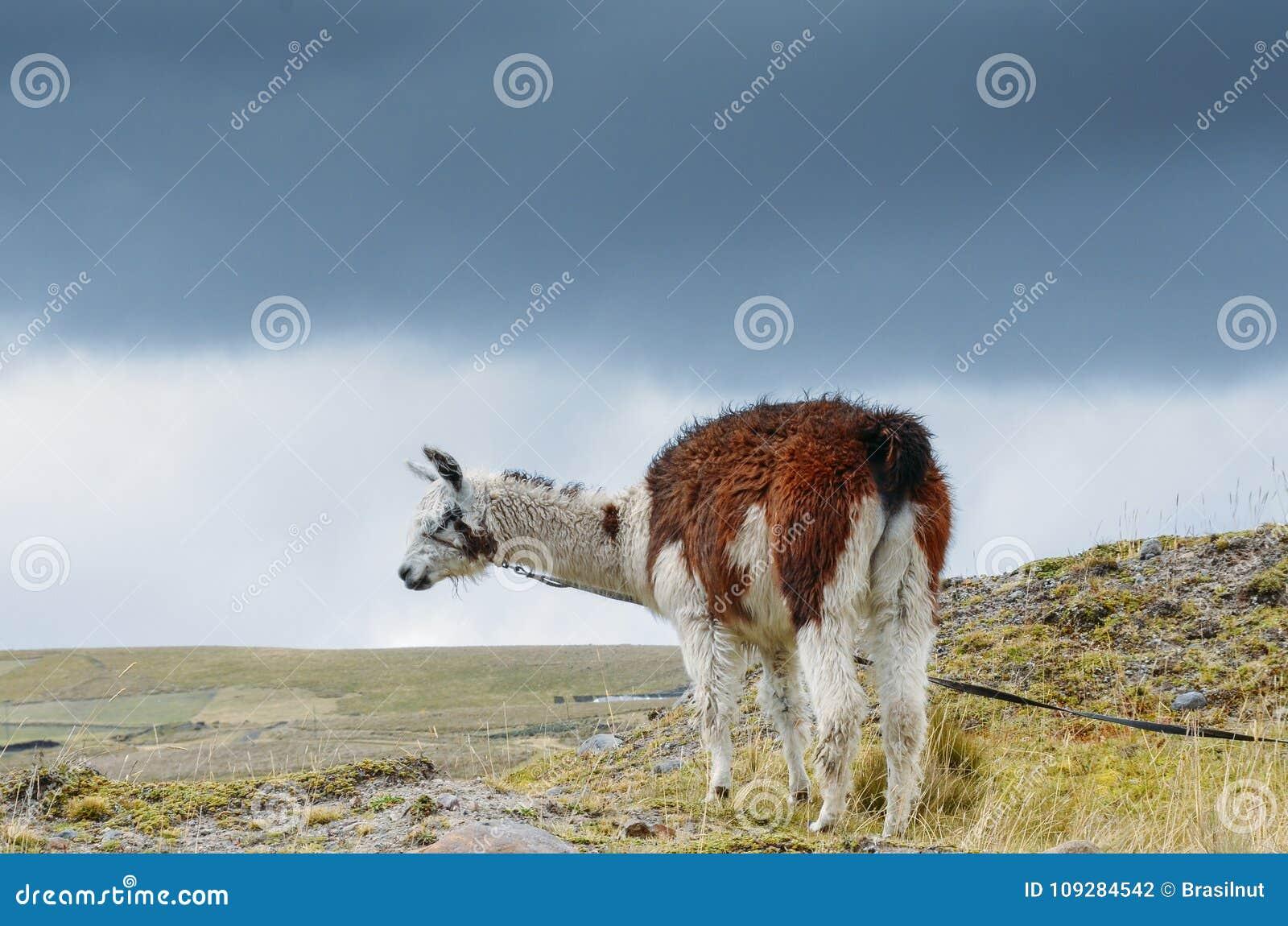 骆马是一被驯化的南美camelid,用途广泛作为肉和驮兽由安地斯山的文化从哥伦布发现美洲大陆以前e