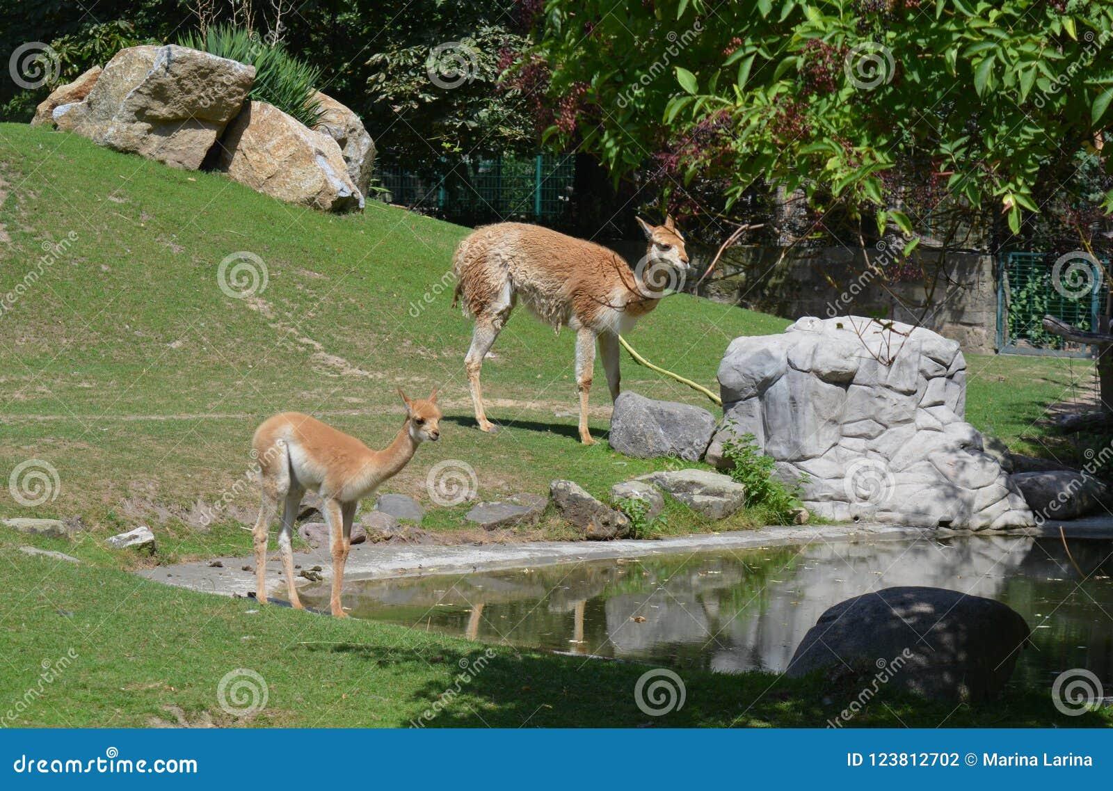 骆马类和她的婴孩动物园的在德累斯顿德国