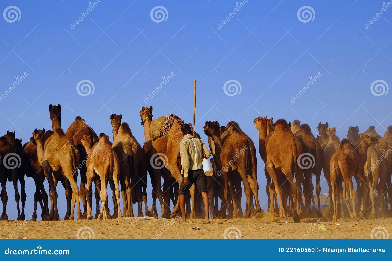 梦见成群的牛和骆驼