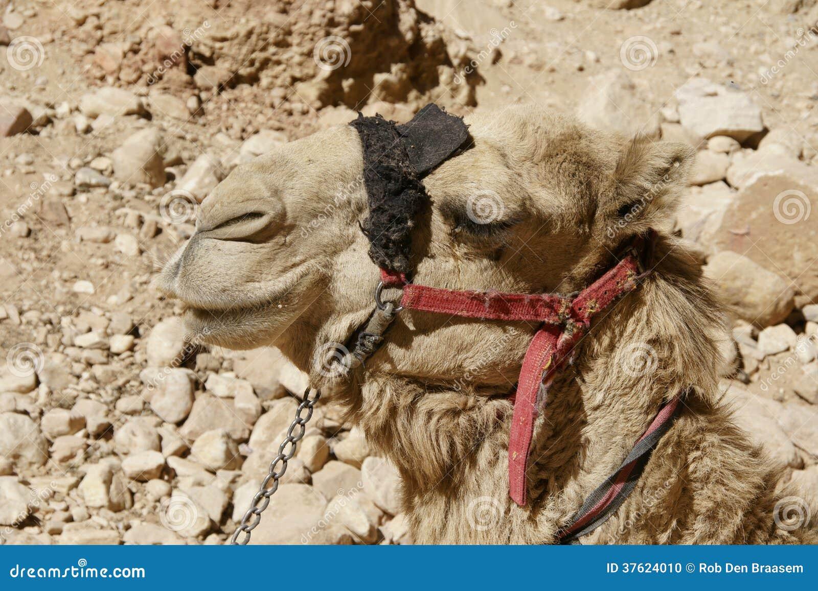 骆驼在约旦沙漠