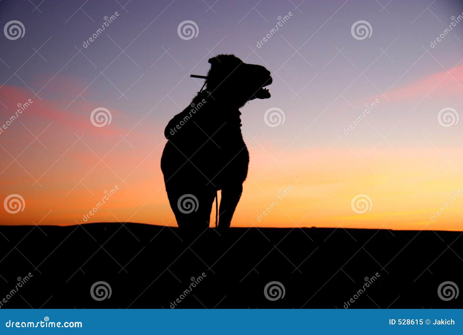 Download 骆驼撒哈拉大沙漠剪影日出 库存图片. 图片 包括有 摩洛哥, 日出, 哺乳动物, 展望期, 敌意, 日落, 骆驼 - 528615