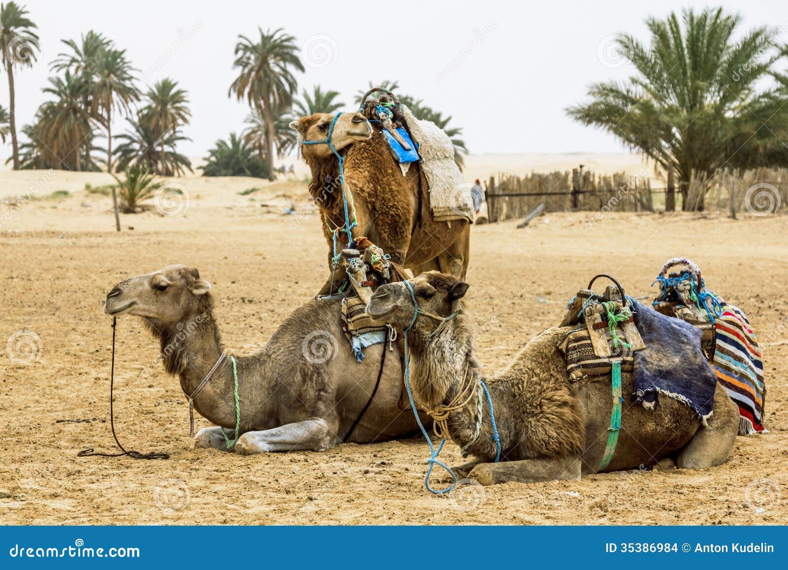 骆驼有蓬卡车在撒哈拉大沙漠,非洲