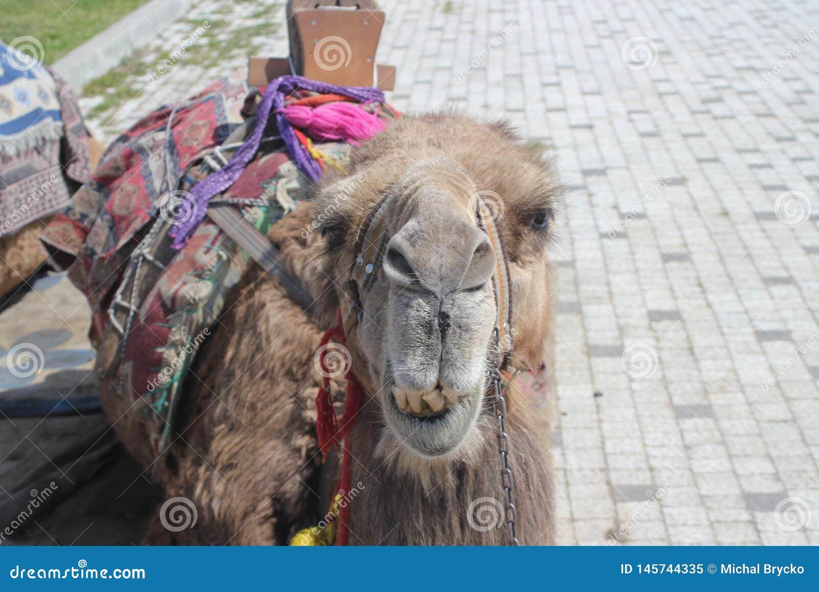 骆驼的画象