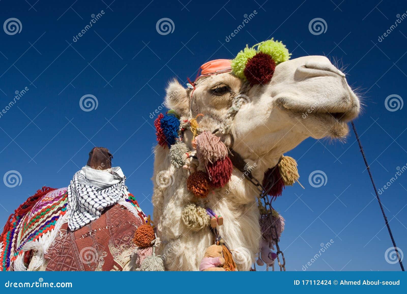 骆驼装饰了埃及