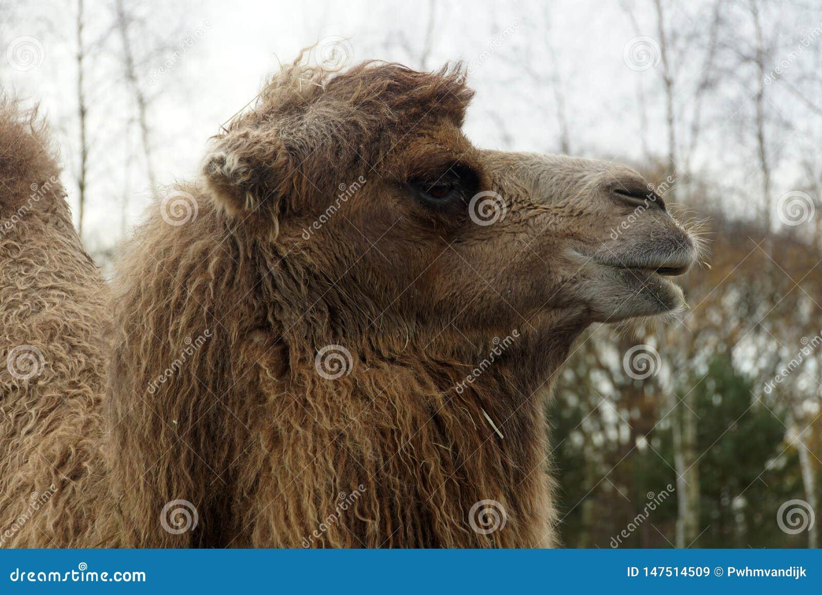 骆驼顶头接近的upwith树在背景中