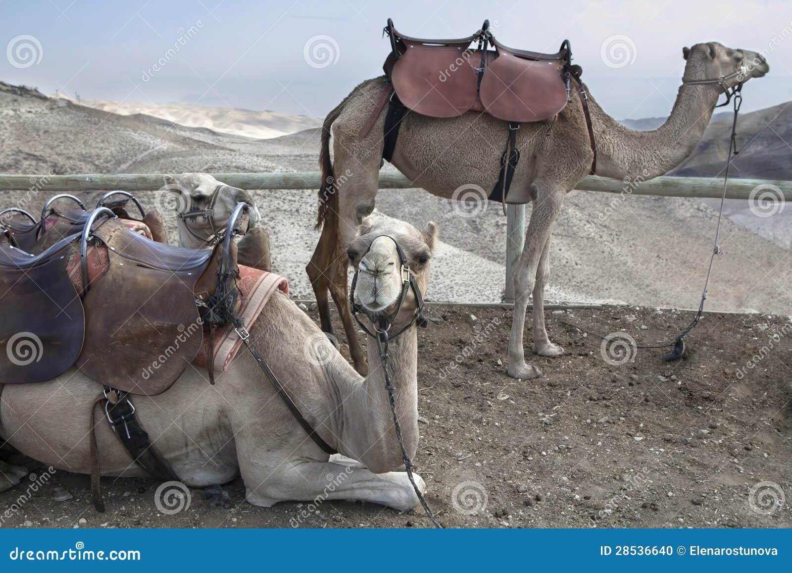 骆驼, Judean沙漠