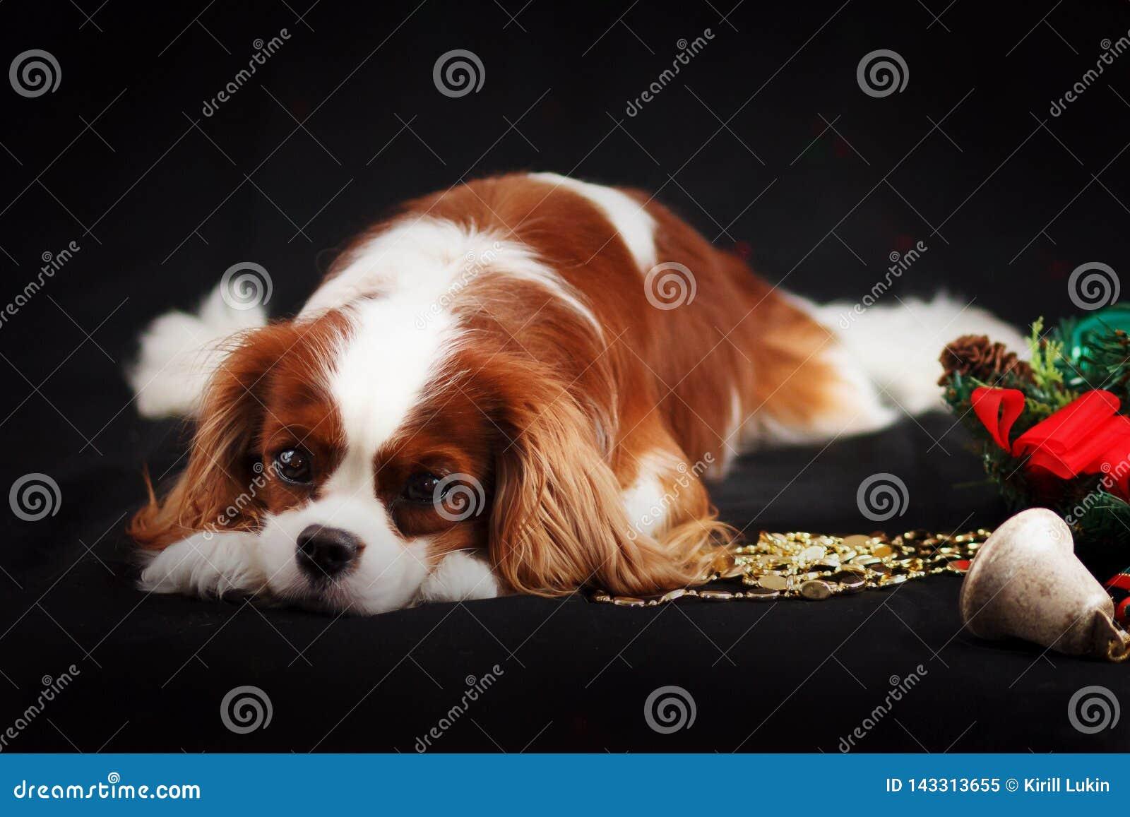 骑士国王查尔斯狗圣诞节照片在黑背景的