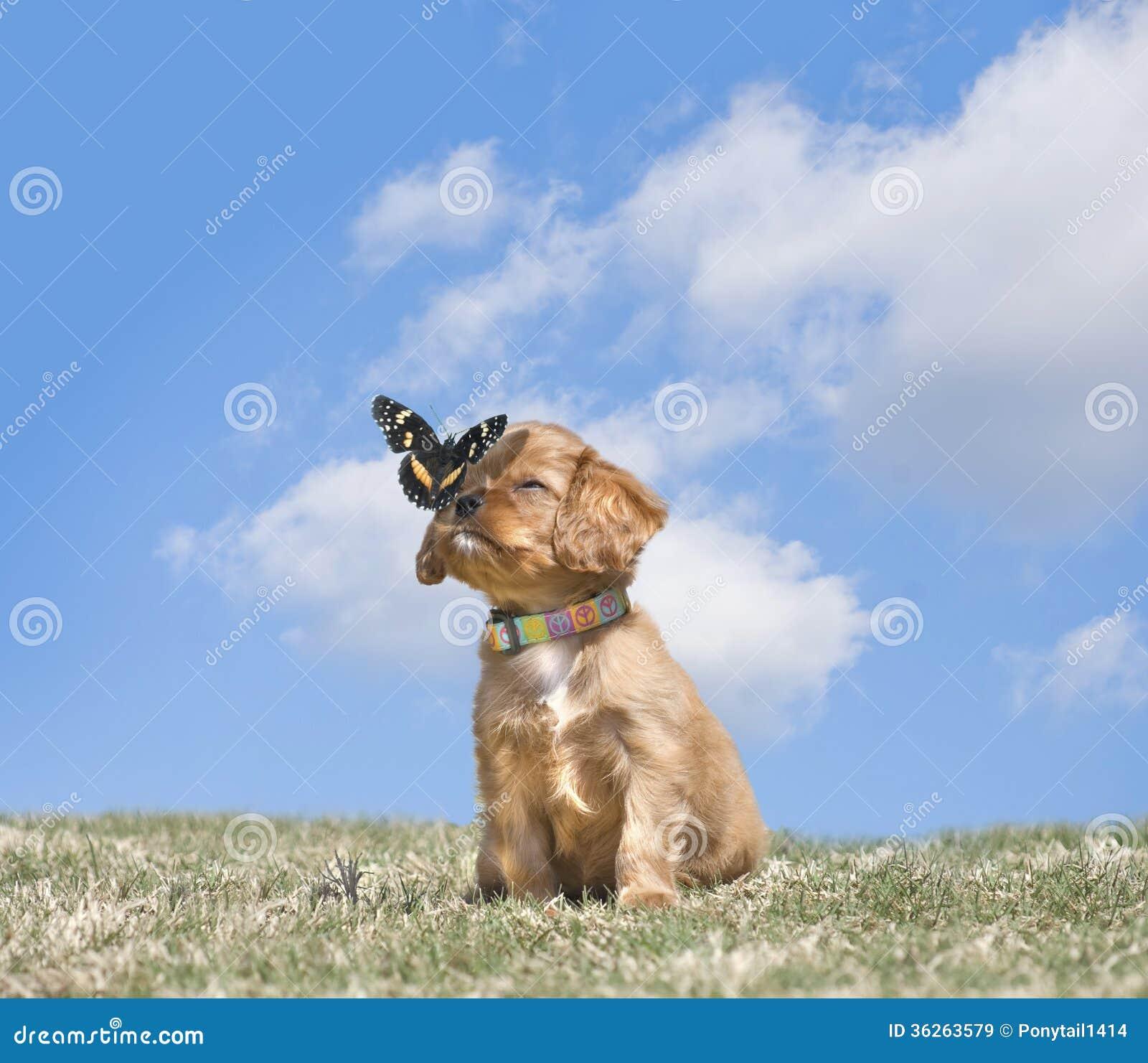 骑士国王查尔斯Puppy With蝴蝶