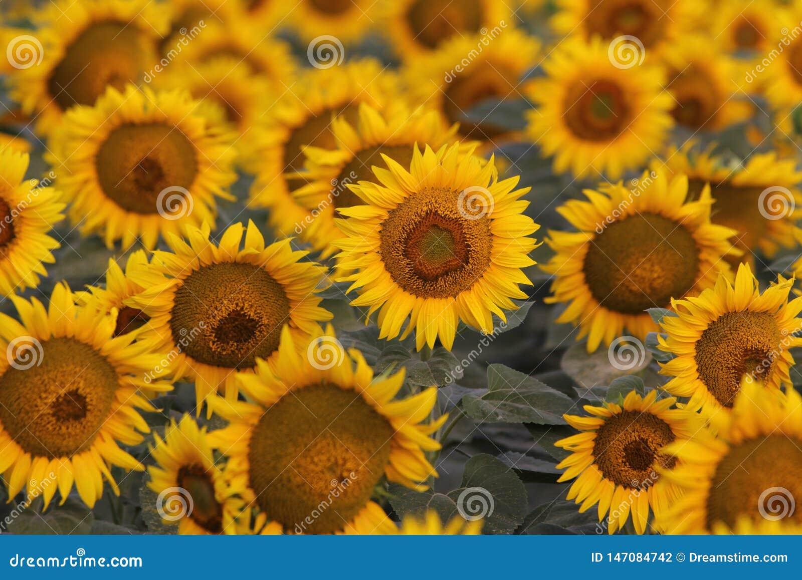 高兴的向日葵在阳光下