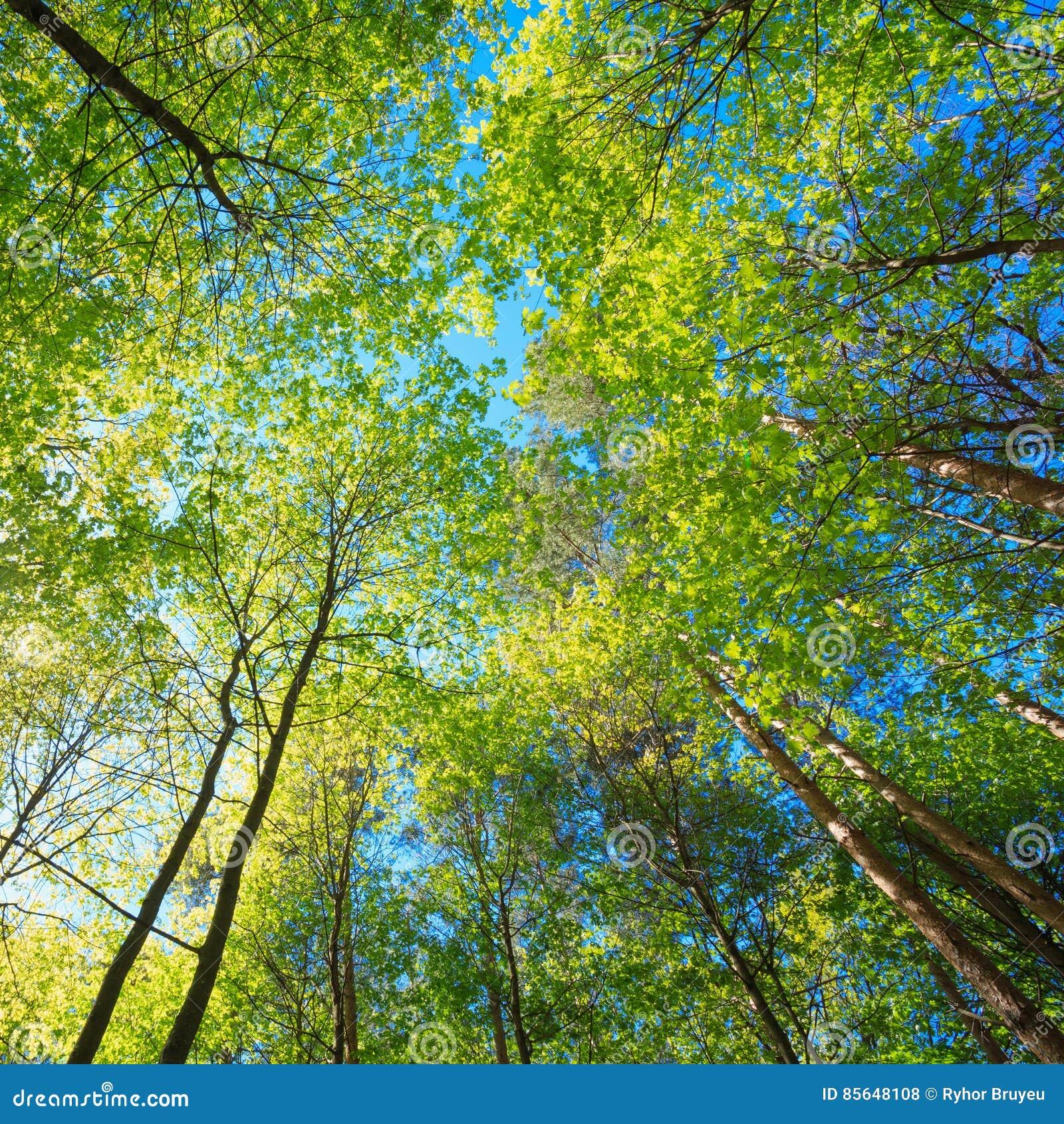 高大的树木晴朗的机盖  阳光在落叶林里,夏天