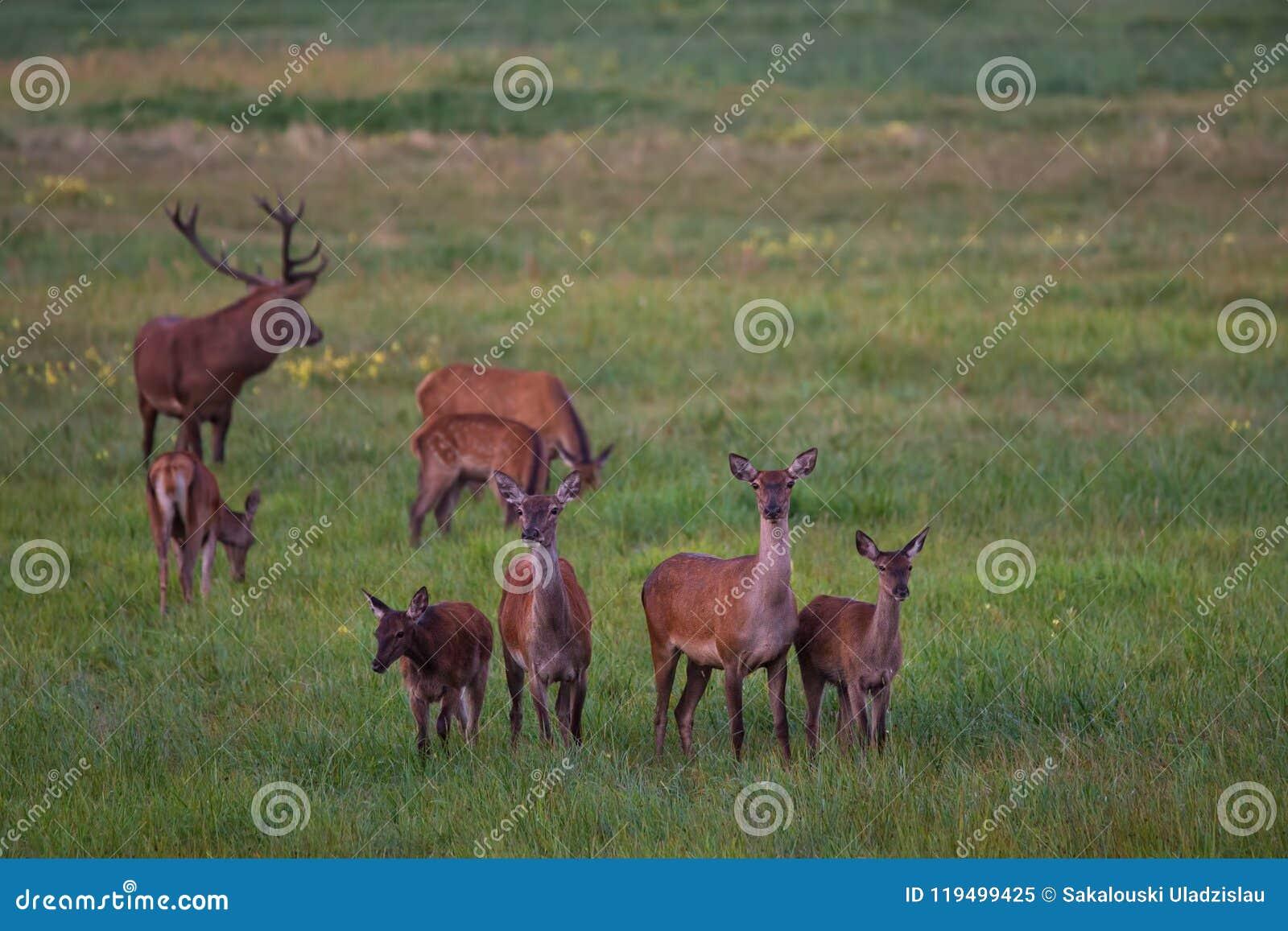 高尚的鹿Cervidae牧群在一个绿色草甸吃草用蒲公英 八不同年龄雷德迪尔:一只雄鹿和七位女性