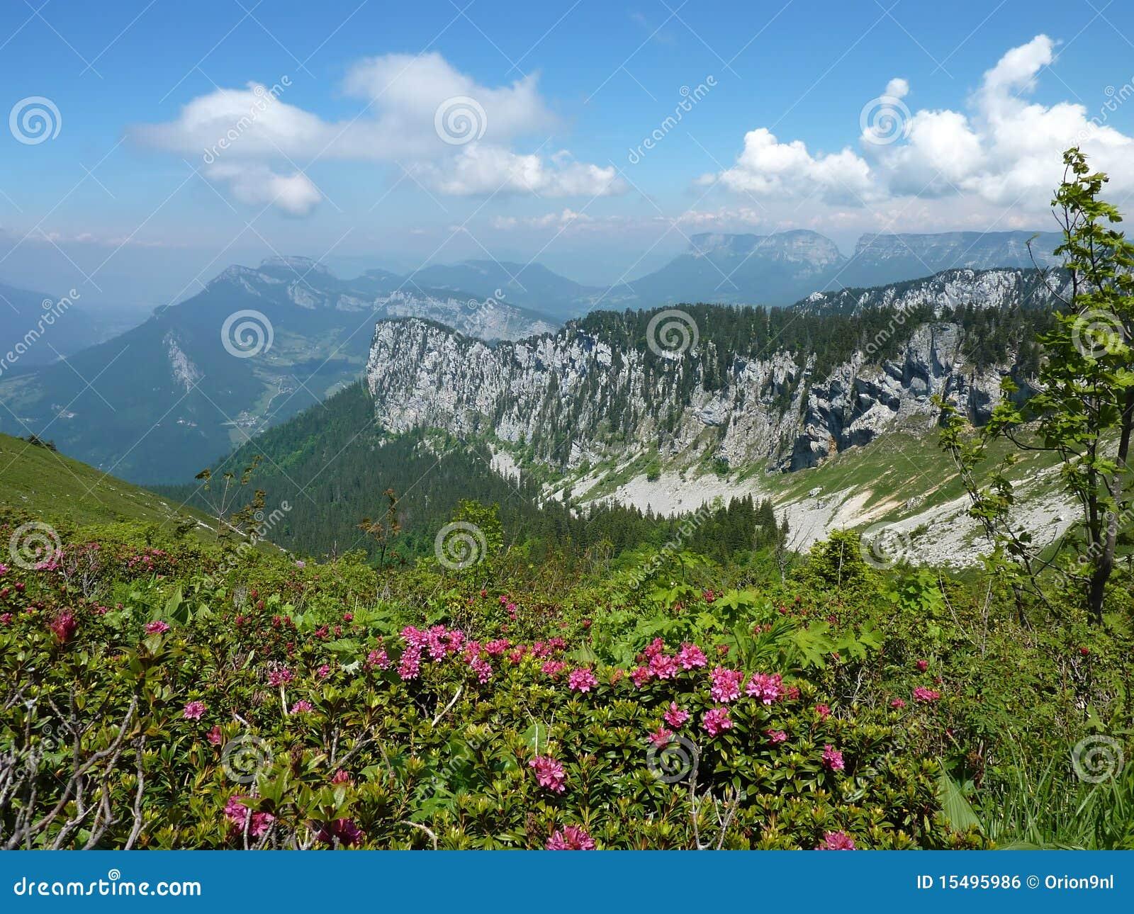 高山淡黄绿玫瑰
