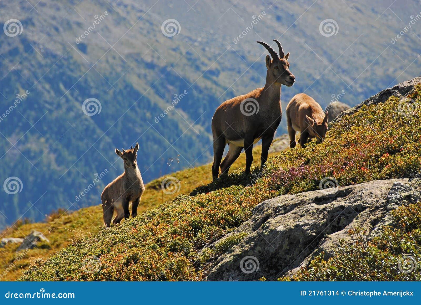 高山系列高地山羊